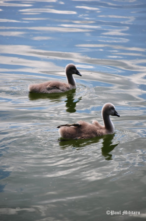 two babies swan
