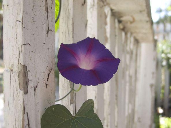 1024px-Purple_flower_near_fence