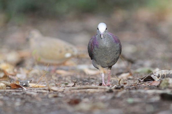 Grey-headed quail dove, 15 March 2017