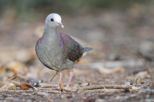 Grey-headed quail dove, on 15 March 2017